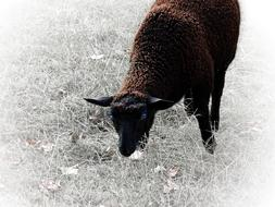 Sheep Animal Mammal