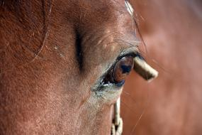 Horse Eye Brown close-up on a blurred background