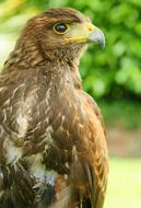 photo of a predatory hawk with a sharp beak and claws