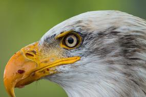 head of Bald Eagle close up