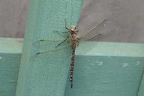 delightful Dragonfly Resting