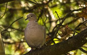 collared dove on pine branch