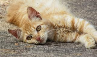 red furry Young Cat lays on his side on ground