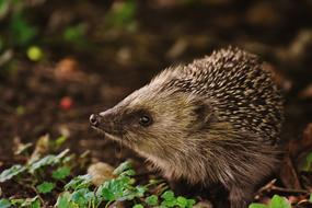 young hedgehog in the forest close up on a blurred background