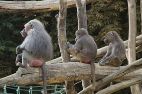 family of baboons in a tree at the zoo