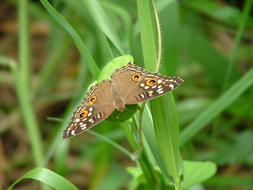 brown peacock Butterfly on green grass