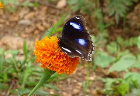Danaid Eggfly, Tropical Butterfly on marigold flower