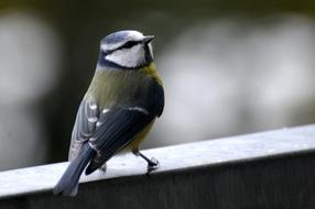delightful Tit Blue small