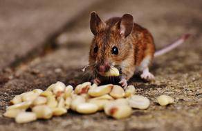 Mouse with seed in mouth