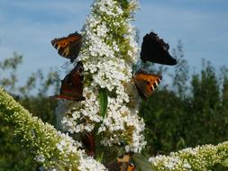group of Butterflies on white summer lilac