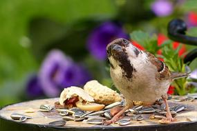 sparrow on a plate with grains