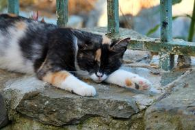 tricolor Cat Sleeps on stone fence