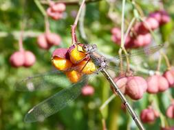 tiny Dragonfly rests on yellow berries