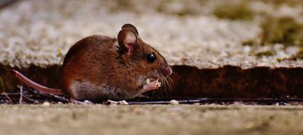 prodigious Mouse Rodent
