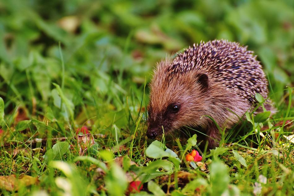hedgehog in a forest green meadow