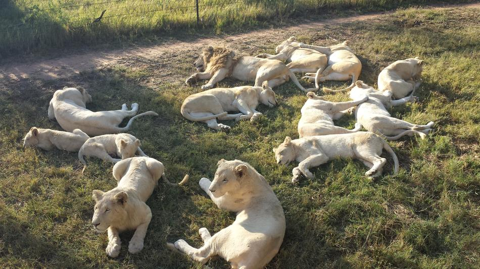 many white lions in the nature of africa