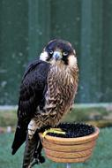 delightful Falcon Bird