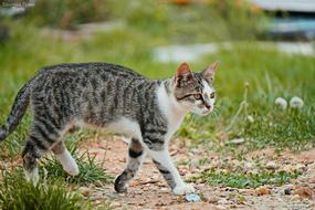 grey Spotted Cat walks on lawn
