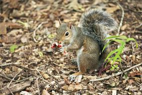 grey Squirrel Eating piece of Mushroom