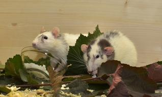 two gray-white rats in green leaves