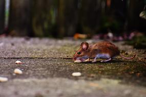 brown Mouse with food outdoor