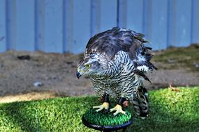 incredibly cute Goshawk Hawk Bird