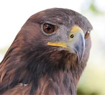 charming Golden Eagle