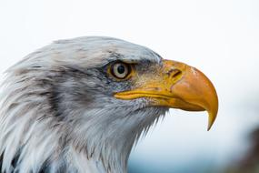 portrait of an Bald Eagle