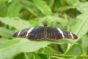 Brown-White-Black striped Butterfly at greenery