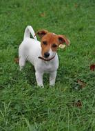 gorgeous Jack-Russel Puppy