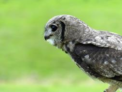 hunting grey owl