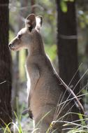 australian kangaroo in the forest