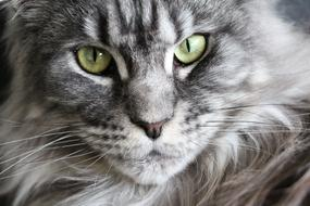 portrait of a grey maine coon