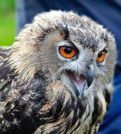 eagle owl with open beak