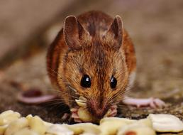 incredibly cute Mouse Rodent