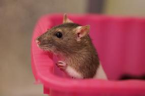 rat in pink basket