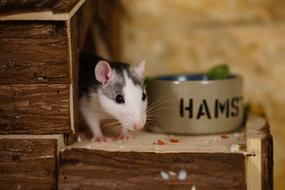 enchanting Rats Sweet