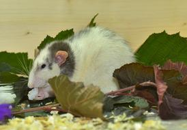 eating grey and white rat