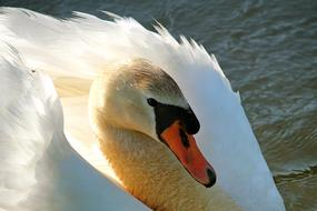 gorgeous Swan Water Wing