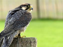 lanner falcon sits on a log