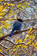Bluebird, Jay among Branches at fall