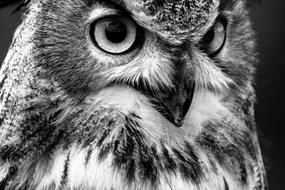 Black and white portrait of the beautiful and cute eagle owl with big eyes
