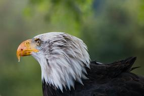 Bald Eagle looking away