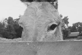 Black and white portrait of the beautiful and cute donkey with the eyes view behind the fence