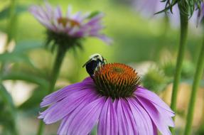bee pollinating a wild purple flower