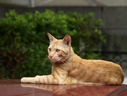 ginger domestic cat lies on a car