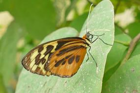 gorgeous Butterfly Brown-Yellow Insect