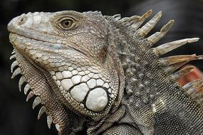 Iguana Portrait Profile