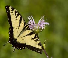 yellow and black eastern tiger swallowtail in wildlife