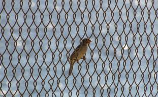 sparrow is sitting on a metal grate